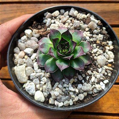 Sempervivum tectorum 'Isella' (vaso11)