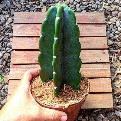 Mandacaru sem espinhos (Cereus Jamacaru 'Inerme') vaso15