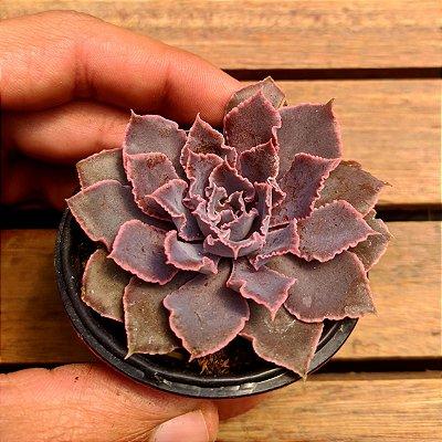 Echeveria 'Pink Frills' (vaso6)
