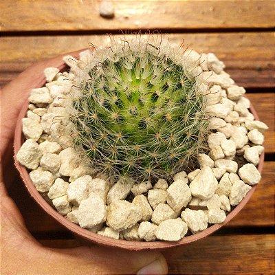 Mammillaria bocasana (vaso11)