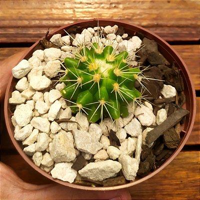 Echinocactus grusoni (poltrona de sogra) vaso11