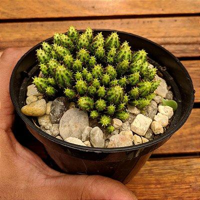 Euphorbia (única vaso11)
