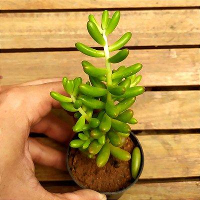 Sedum rubrotinctum (vaso6)