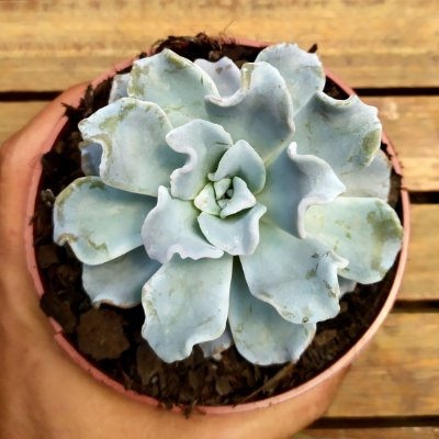 Echeveria 'Crispate Beauty' (vaso11)