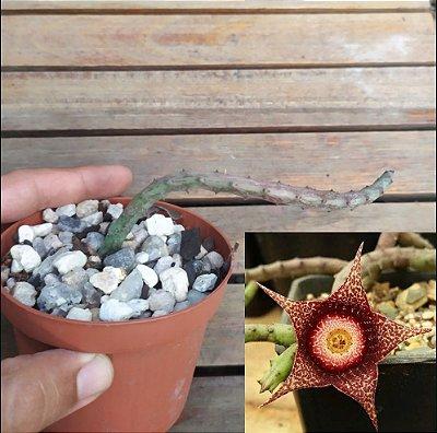Stapelianthus hardyi (1 haste)
