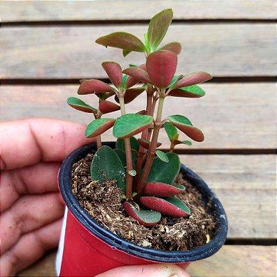 Peperomia verticillata 'Red Log'
