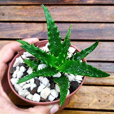 Aloe congolensis (vaso11)