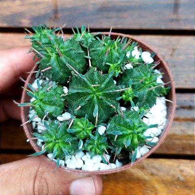 Euphorbia pulvinata (varias mudinhas)
