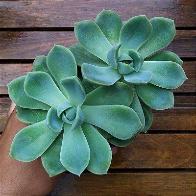 Echeveria albicans (2 rosetas vaso11)