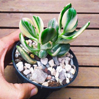 Crassula ovata 'Lemon & Lime' variegata (vaso11)