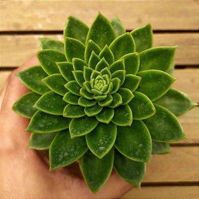 Echeveria 'Leisel' (única vaso11)