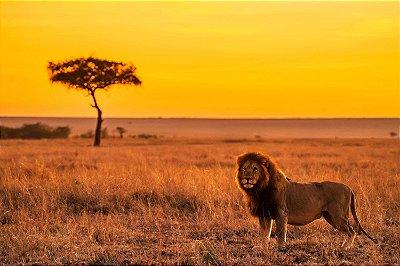 Quadro Leão - Savana