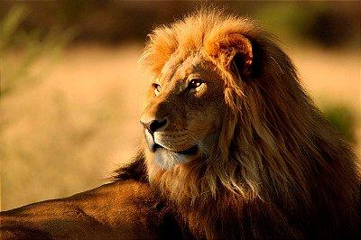 Quadro Leão de Judá 2