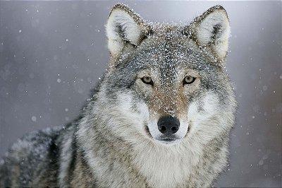 Quadro Animais - Lobo da Neve