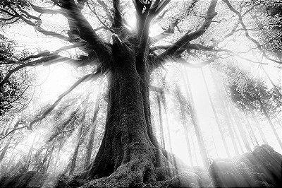 Quadro Paisagem - Árvore Centenária Preto e Branco