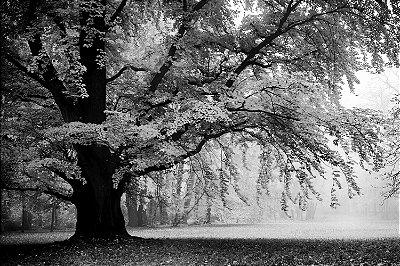 Quadro Paisagem - Árvore Centenária Preto e Branco 2