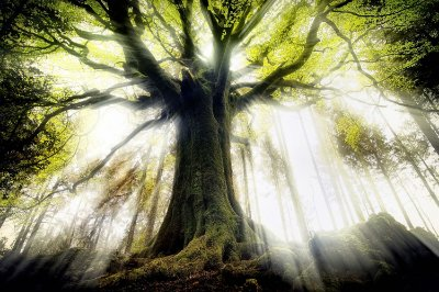 Quadro Paisagem - Árvore Centenária