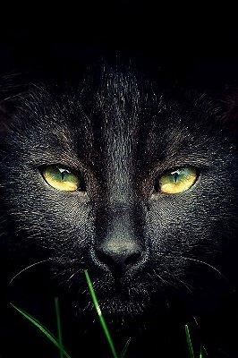 Quadro Animais - Felino