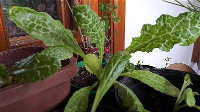 CARDO MARIANO, lindas mudas da planta que produz a Silimarina - Retirar em São Leopoldo no bairro Rio Branco