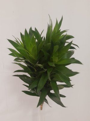 Dracena Verde - maço