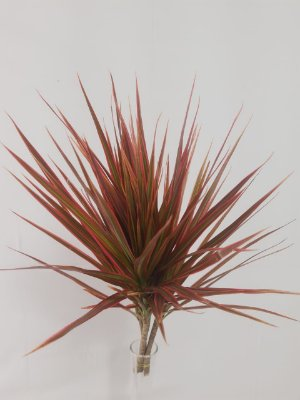 Dracena Tricolor- maço