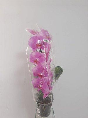 Phalaenopsis  variada - Vaso
