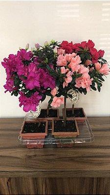 Azaléia variada - Bonsay  Pote 12  - Caixa com 4 und