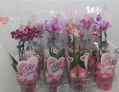 Mini Phalaenopsis - caixa variado 12 vasos