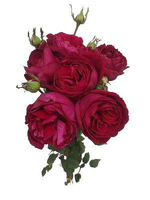 Rosa piano line vinho