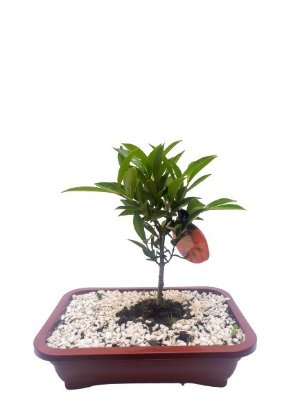 BONSAI FRUTÍFERAS