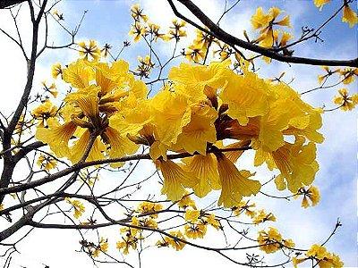 Ipê Amarelo - Lindas Mudas