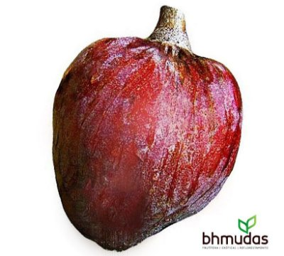 Pinha Asteca Vermelha - Lindas Mudas