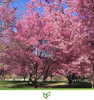 Sakura Rosa, a Cerejeira Japonesa  - Lindas Mudas Enxertadas