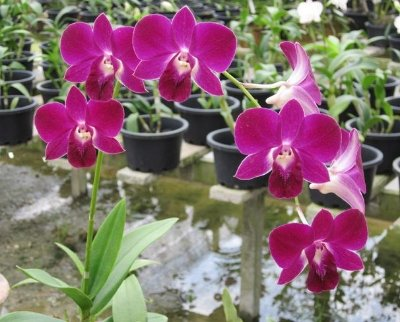 Orquídea Denphal Betty Light Purple
