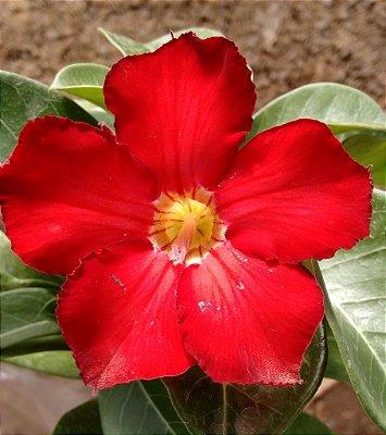 Rosa do Deserto Vermelho Intenso