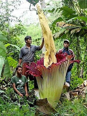 Jarro-Titã - Impressionante Maior Flor do Mundo