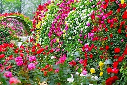 Kit c/ 6 Tipos de Rosas Trepadeira nas Cores - Vermelha - Rosa Dobrada - Salmão - Branca - Amarela e Vinho