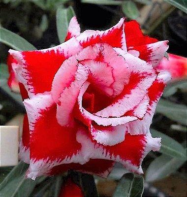 Rosa do Deserto H.U. Flor Dobrada Enxertada