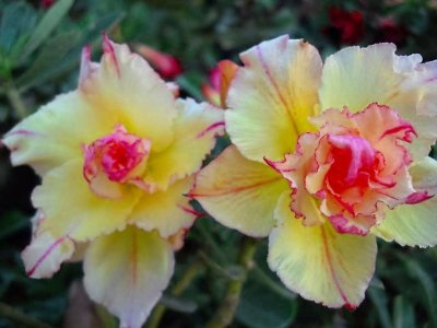 Rosa do Deserto RS Flores Duplas Enxertada