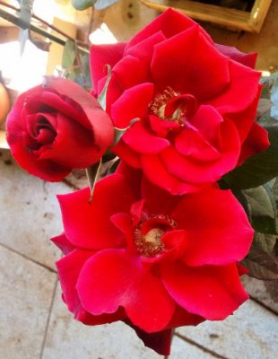 Rosa Barkarole Arbustiva Vermelha Veludo
