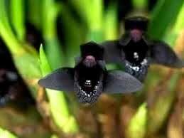 Orquídea Maxillaria schunkeana - Orquídea Negra - Adulta