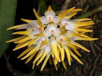 Orquídea Bulbophyllum odoratissimum - Adulta