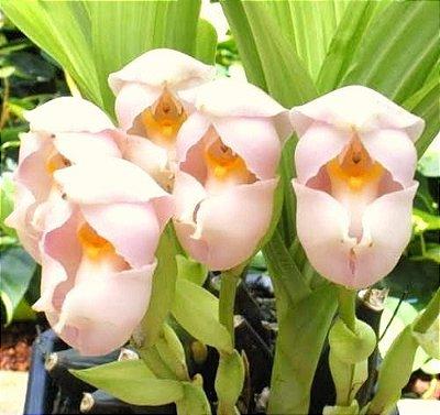 Orquídea Tulipa