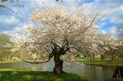 Cerejeira Japonesa Ornamental de Flores Brancas e Dobradas