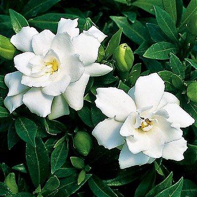 Jasmim do Cabo ou Gardênia Arbustiva Compacta - Muito Perfumada