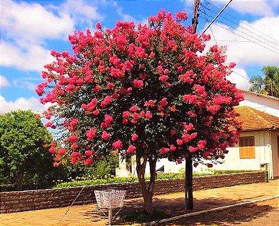 Resedá Vermelho ou Árvore-de-Júpiter