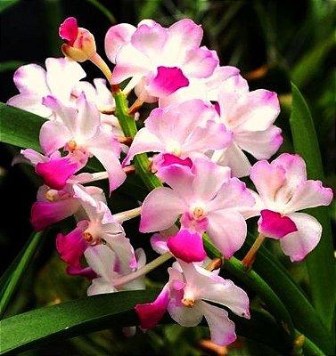 Orquídea Vandachostylis Janice Allison