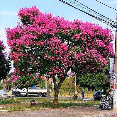 Resedá Gigante de Flor Rosa