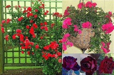Kit c/ 3 Cores e Formatos Diferentes de Rosas = TREPADEIRA Vermelha + PENDENTE Pink + ARBUSTIVA Príncipe Negro