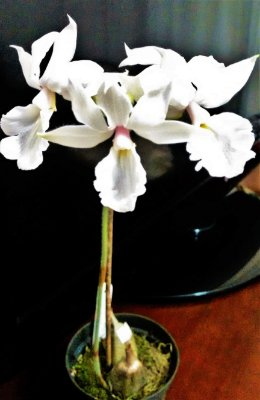 Orquídea Calante vestita Alba